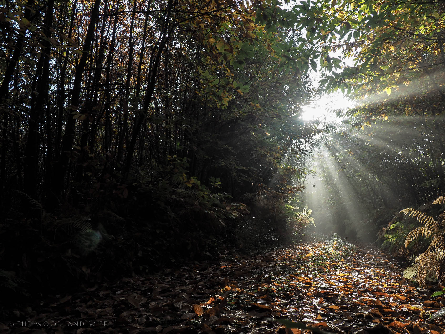 The Woodland Wife - Morning sunlight through the woods